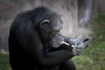 Azalea The Smoking Chimp A Big Hit At North Korean Zoo