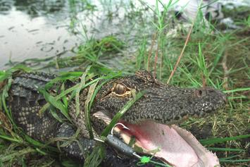 Florida Alligator Crashes Picnic Date, Eats A Block Of Cheese & Bowl Of Guacamole